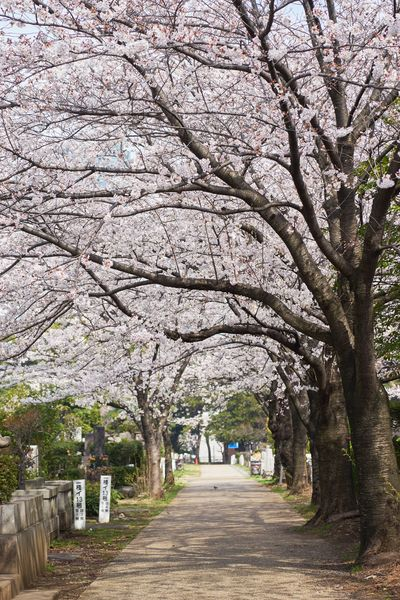 Eye4photography  Nature Photography Cherry Blossoms Sakura Plant Tree Nature Growth The Way Forward Direction Flower Beauty In Nature Flowering Plant Footpath Blossom Treelined No People Outdoors Branch Fragility Day Springtime Park Freshness
