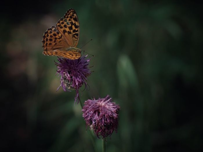 Butterfly summer EyeEm Best Shots Flower Flowering Plant Beauty In Nature Insect Animal Wildlife Animal Themes Invertebrate Butterfly - Insect Fragility Plant Animal Close-up Flower Head One Animal Vulnerability  Freshness Animals In The Wild Focus On Foreground