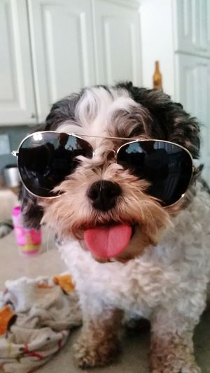 Im bad to the bone! Sunglasses Dog Pets Humor Eyeglasses  Looking At Camera Portrait Eyewear Animal Pet Clothing Cute Arts Culture And Entertainment Protruding Making A Face Domestic Animals No People Animal Themes Day Pet Portraits