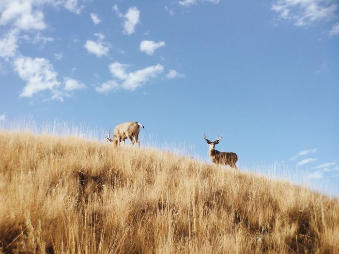 Low angle view of stags grazing on grassy hill against sky