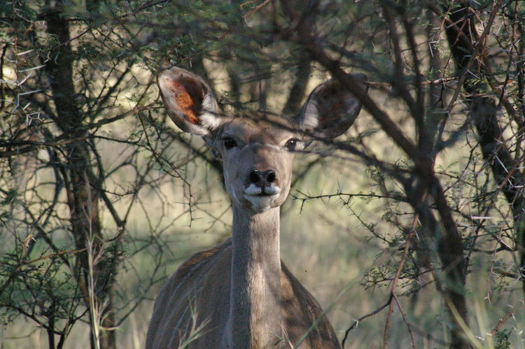 Animal Wildlife One Animal Animals In The Wild Looking At Camera South Africa 🇿🇦 EyeEmNewHere Kudu Antelope Outdoors Portrait EyeEm Nature Lover