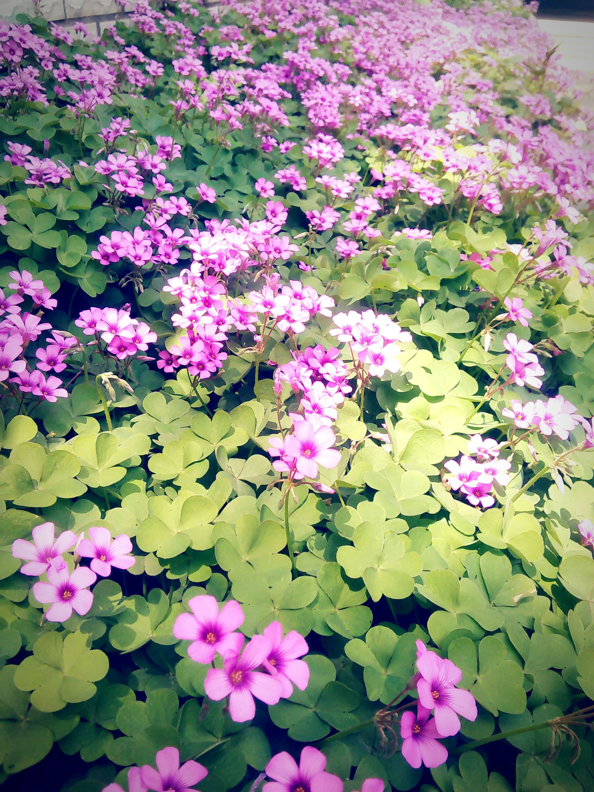 flower, freshness, fragility, petal, pink color, growth, beauty in nature, purple, blooming, nature, flower head, plant, in bloom, pink, high angle view, leaf, park - man made space, abundance, blossom, outdoors