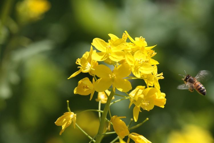 Flower Yellow Nature Animals In The Wild Beauty In Nature Close-up Fragility Animal Themes One Animal Insect Plant Petal Growth Symbiotic Relationship Freshness Animal Wildlife Pollination Blooming No People Flower Head Bee Canolaflower Honey Bee at 千葉県 in 房総