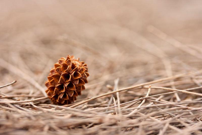 Beauty In Nature Brown Close-up Coniferous Tree Day Dead Plant Dried Plant Dry Flower Flowering Plant Focus On Foreground Fragility Freshness Growth Land Natural Condition Nature No People Outdoors Pine Cone Pine Wood Plant Selective Focus Vulnerability