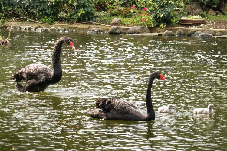 Happy family Black Swans Learn & Shoot: Balancing Elements Pond Life Water Reflections Swan Lake Chicks Landscape Nature