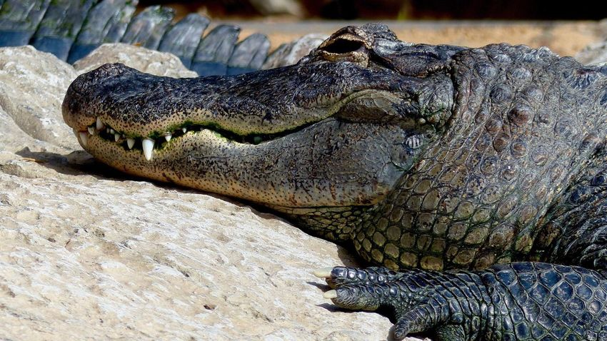 Reptile Crocodile Animals In The Wild One Animal Animal Themes Animal Wildlife Alligator No People Close-up Animal Scale Day Outdoors Nature 16:9