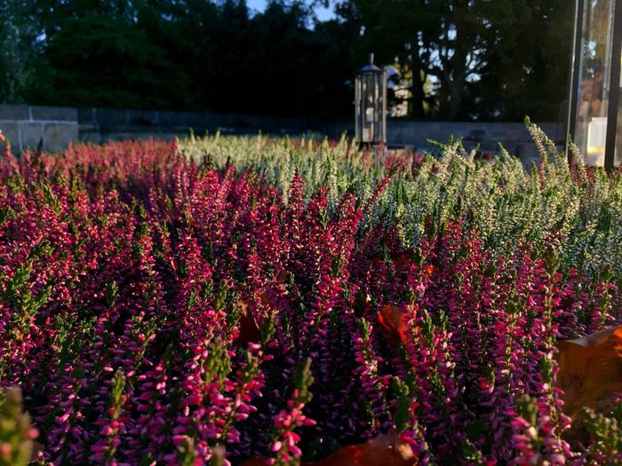 Red flowering plants on field