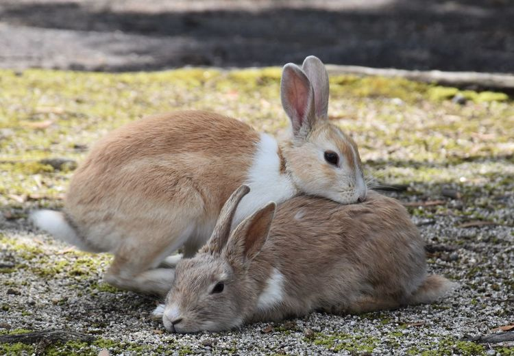 Two cute bunnies hugging Animal Beautiful Animals  Beauty In Nature Bunnies Close-up Cute Cute Animals Cute Bunnies Cute Pets Cute Rabbit Cute♡ Focus On Foreground Grass Mammal Nature Outdoors Pet Rabbit Island Rabbits Rabbits Hugging Rabbits Playing Relaxation Young Animal