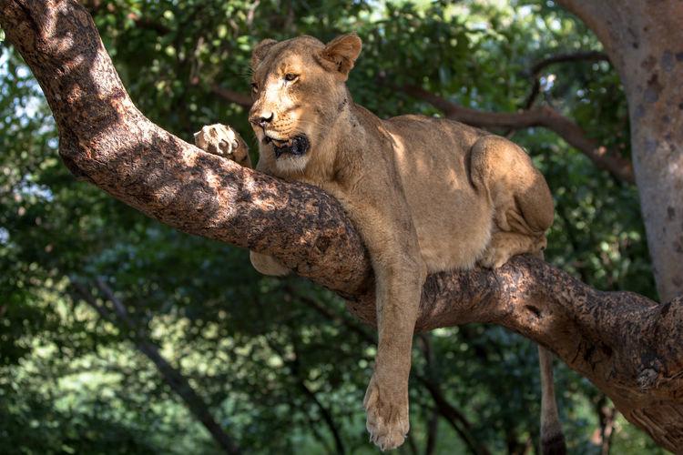 Lion Animal Themes Animal Wildlife Animals In The Wild Branch Lion - Feline Lioness One Animal Tree