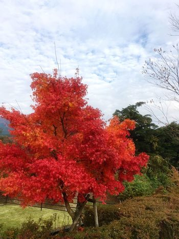 Autumn Change Nature Tree Beauty In Nature Sky Tranquility Leaf No People Shot On IPhone. Tranquil Scene Day Outdoors Cloud - Sky Growth Low Angle View Red Landscape Mountain Maple