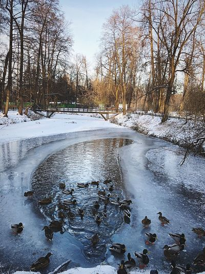 Ducks Cold Temperature Water Nature Tree Sky Plant Winter Frozen No People Snow Wet Ice Lake Day