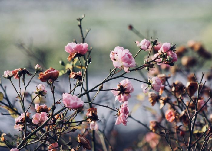 wild rose shrub in winter Pink Romance The Week On EyeEm Winter Adore Beauty In Nature Blooming Blossom Branch Close-up Flower Flower Head Focus On Foreground Fragility Freshness Garden Growth Nature Outdoors Petal Pink Color Plant Purity Shrub Wild Rose