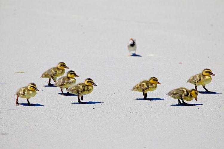 Ducklings walking like a street gang
