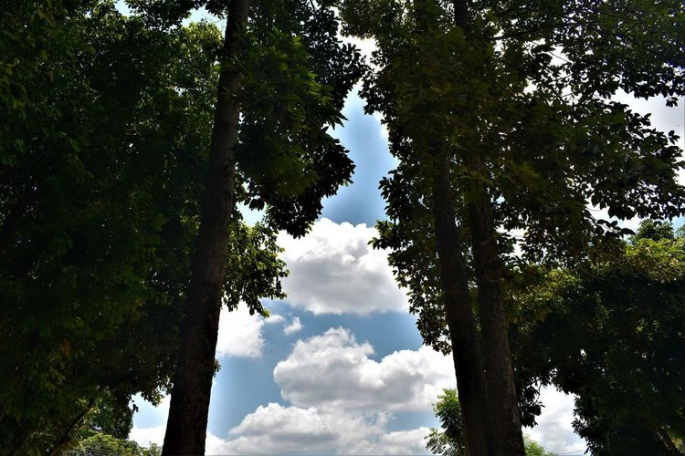 tall big trees