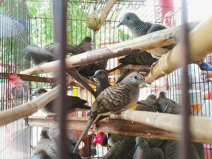 many doves