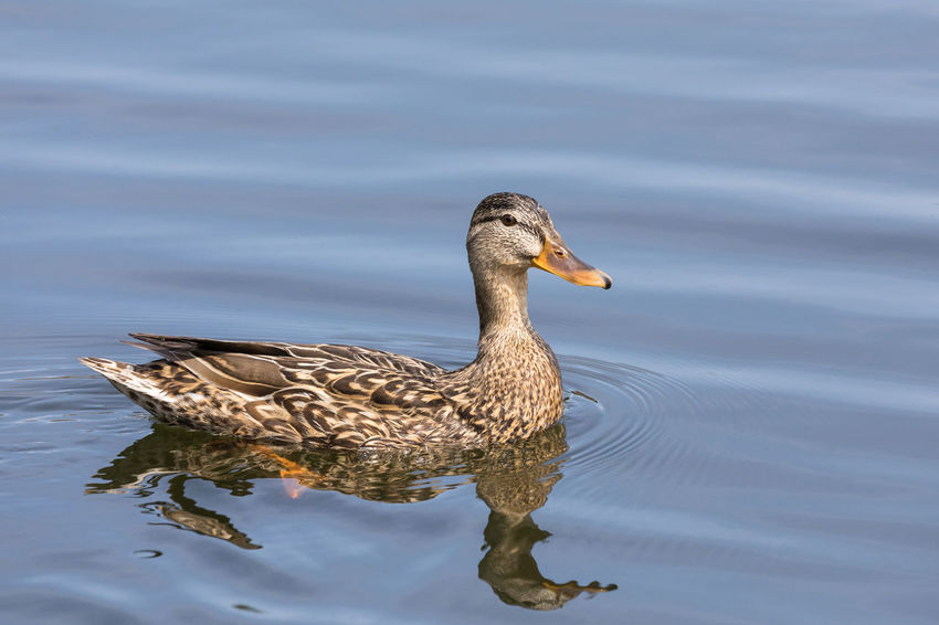 Female mallard duck swimming on a lake Animal Animal Themes Animal Wildlife Animals In The Wild Beauty In Nature Bird Blue Day Duck Female Animal Floating On Water Full Length Lake Mallard Duck Nature No People One Animal Reflection Side View Summer Swimming Vertebrate Water Water Bird Waterfront