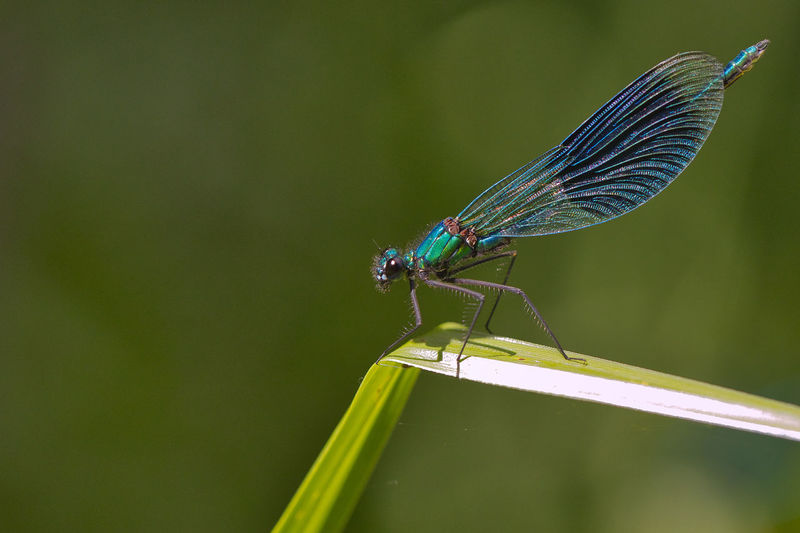 Blue damselfly on green leaf