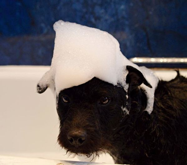 Bath Time Bubbles Patterdale Terrier Cute Quiff I Love My Dog My Dog Is Cooler Than Your Kid. Dog Furbaby