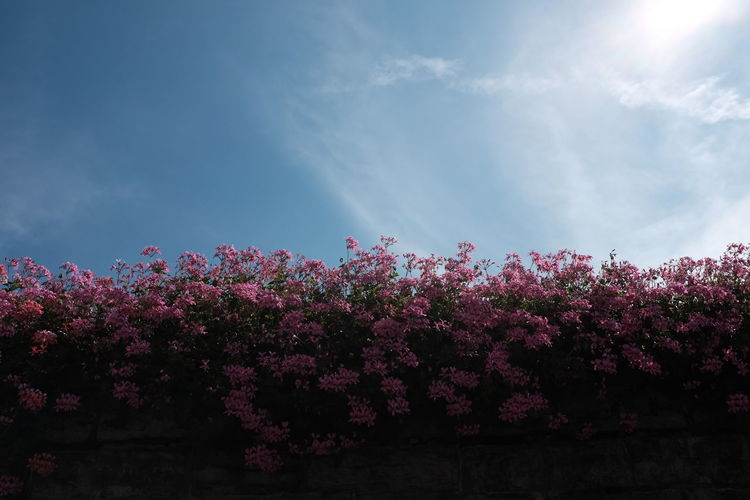 Low Angle View Of Pink Flowers Growing On Surrounding Wall