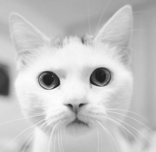 Pet Portraits Pets Domestic Cat Domestic Animals Looking At Camera One Animal Animal Themes Cat Animal Head