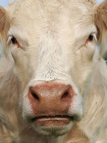 Cow Cowporn Portrait Pets Looking At Camera Close-up