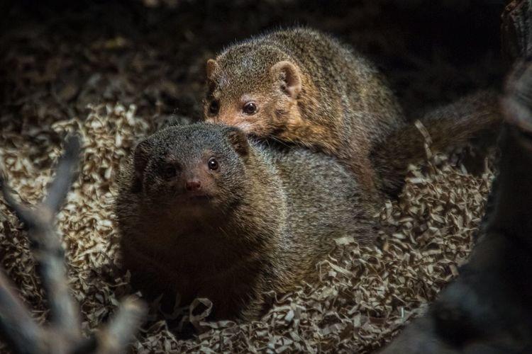 Mongooses Mating At Zoo