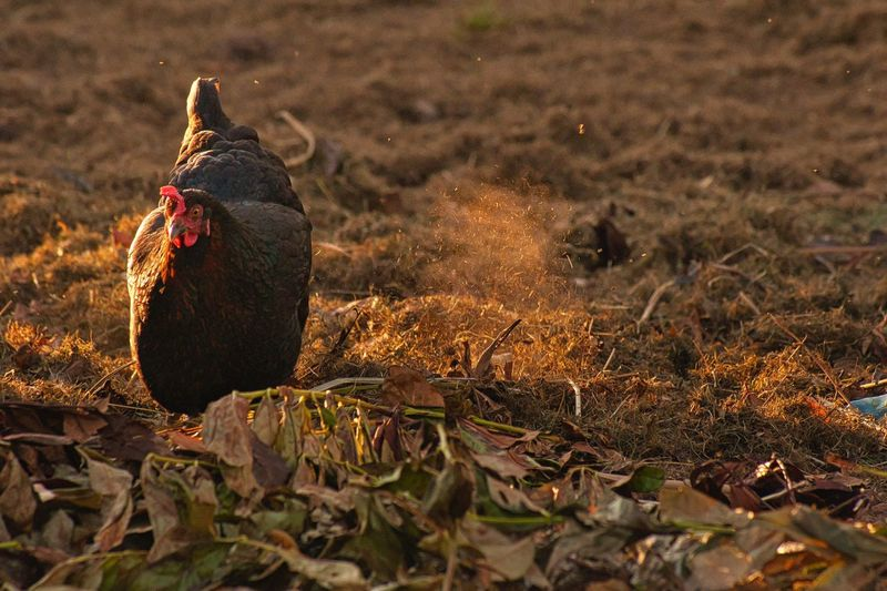 Hen on field in sunny day