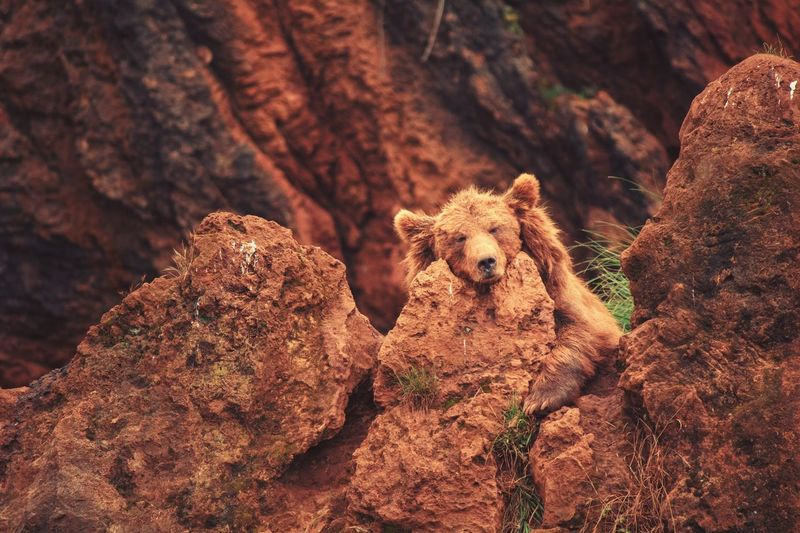 Bear Relaxing On Rock
