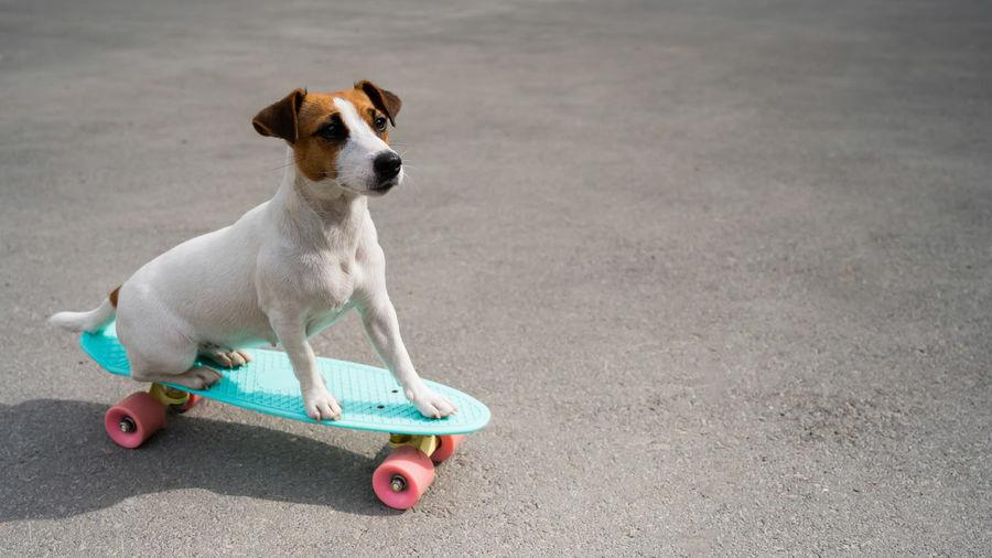 Portrait of dog with skateboard