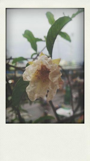 Cambodge Flower Shot First Eyeem Photo