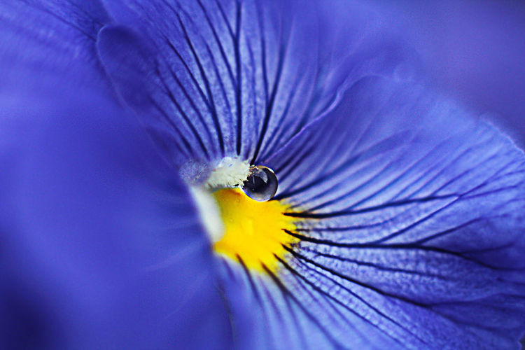 Pansies Pansy Heartsease Love-in-idleness Blue Purple Yellow Flower Macro Drop Close-up Pollen Vulnerability  Petal Botany EyeEmNewHere EyeEm Nature Lover EyeEm Selects Flowering Plant Summer Beauty In Nature Freshness Selective Focus Nature No People Flower Head Pollination Growth Plant