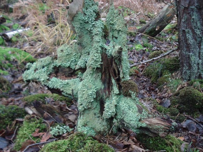 Baumstumpf Forest Walk Waldspaziergang Altes Holz Beauty In Nature Forest Green Color Moss Nature No People Old Wood Wall Outdoors