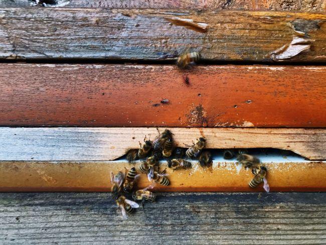 Honeybees in a beehive / Honigbienen Instects Honeybees Honey Honey Bees  Honey Bee Bienenstock Honigbiene Behive #wood - Material Wood Material #Bees Wall - Building Feature Beehive Honey Bee Bee