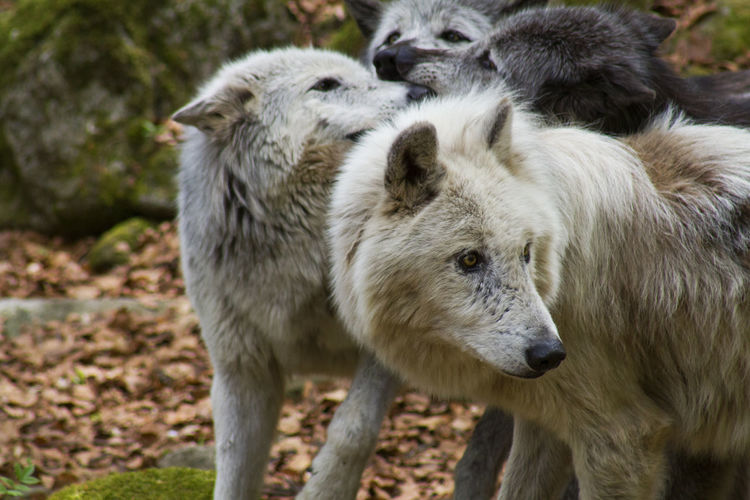 Wolf pack at Orlu sanctuary Pyrenees Orlu Wolf Sanctuary Animal Themes Animals In The Wild Day Focus On Foreground Group Of Animals Nature No People Outdoors Wolves In Forest The Great Outdoors - 2018 EyeEm Awards