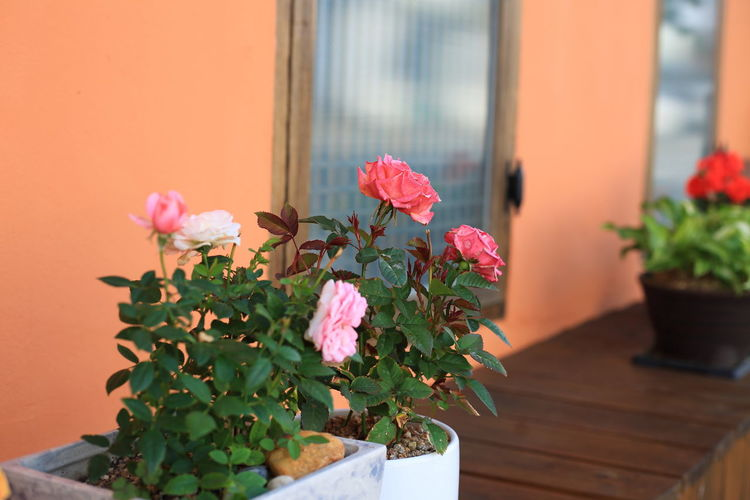 Close-up of pink flower pot on potted plant