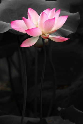 Lotus♥ Waterlily 🌷 Moment Of Zen Water Plant Pink Color Freshness Flower Head Fragility Close-up Single Flower Lotus Water Lily Blossom Botany Beauty In Nature My Favorite Place No People Colorporn
