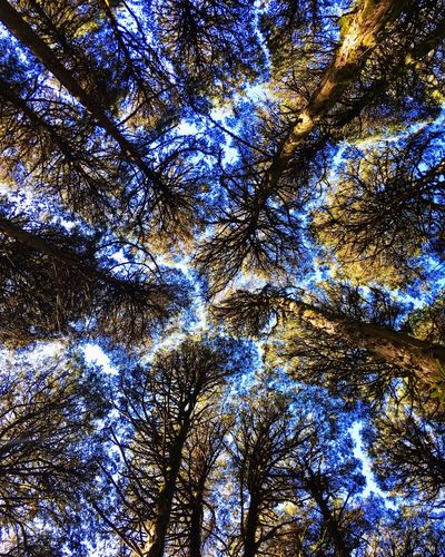 Gaps Sequoia National Park Perfection Of Nature Trees Sequoia Gaps Full Frame Backgrounds No People Low Angle View Tree Nature Beauty In Nature Sky Plant Day Blue Tranquility Sunlight Outdoors Growth Pattern Scenics - Nature