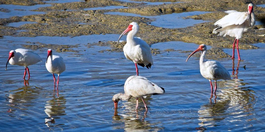 White ibises in lake