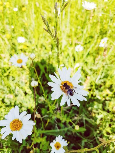 Bee and Camille flowers Flower Butterfly - Insect Fragility Insect Nature Growth Petal Flower Head Plant One Animal Animal Themes Freshness Close-up Animals In The Wild Day No People Beauty In Nature Outdoors Bee EyeEmNewHere The Great Outdoors - 2017 EyeEm Awards Landscape Camilla Flower