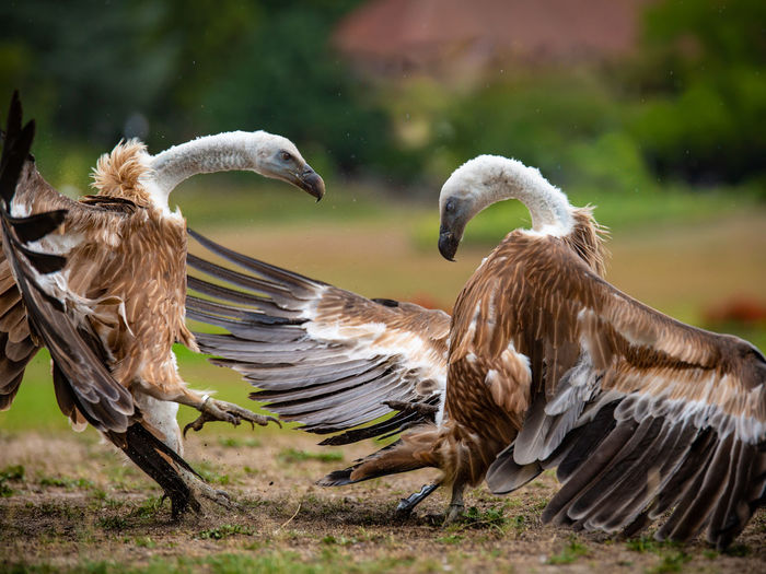 Vultures fighting on field