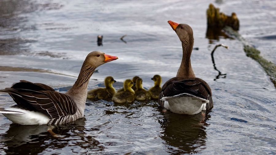 Geese Geese Family Spring 2016 Spring2016