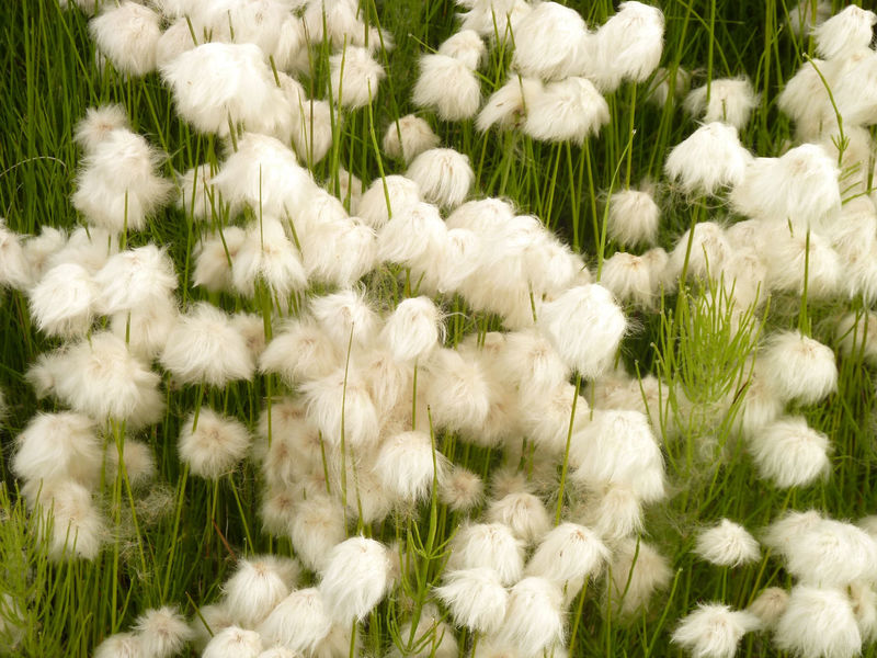 Botany Flower Flowers,Plants & Garden Flufy Freshness Looking At Camera Outdoors Softness White
