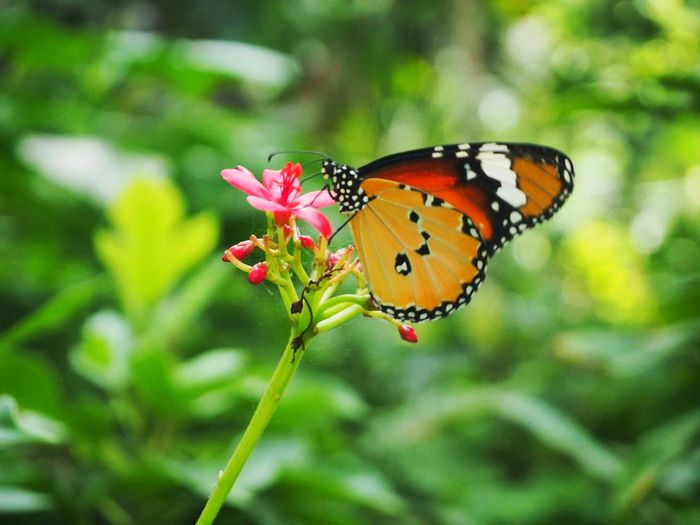 Butterfly - Insect Insect Animals In The Wild Nature No People Flower Fragility Outdoors Animal Themes Freshness Plant Close-up Beauty In Nature Perching Day Spread Wings First Eyeem Photo