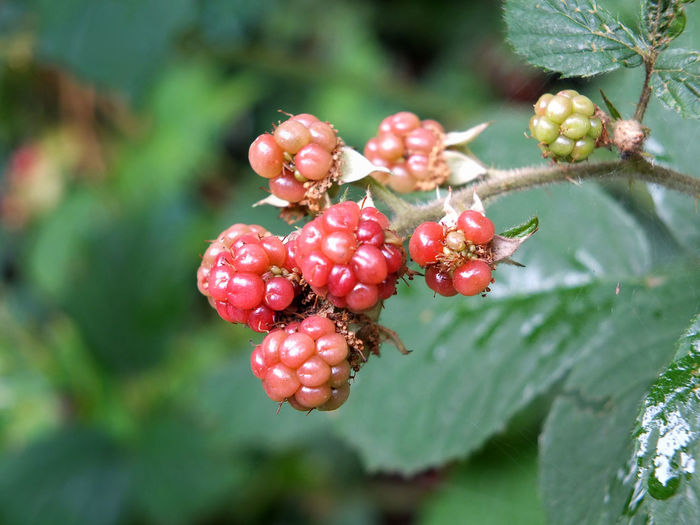 close up of natural wild blackberries ripening on a bush in a forest setting Beauty In Nature Berry Fruit Blackberry - Fruit Close-up Day Focus On Foreground Food Food And Drink Freshness Fruit Growth Healthy Eating Leaf Nature No People Outdoors Plant Plant Part Red Ripe Wellbeing