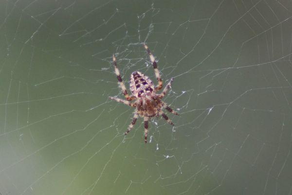 Spider Arachnid Freaky Shudder Nature On Your Doorstep In My Garden