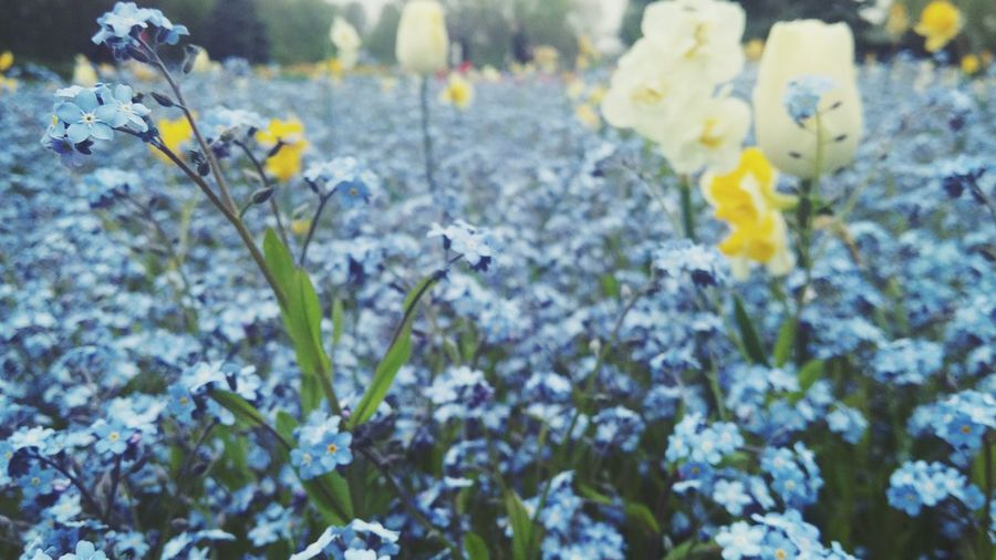 Maximum Closeness Forget Me Not Field Herastrau Park, Bucharest, Springtime Dafodils Tulips Forget Me Not Beauty In Nature Blue Fields Flowers My Beautiful Day Fragility Close-up No People Blooming Flowers I Love Flowers! Spring Colours I Love Living In Nature❤️❤️❤️