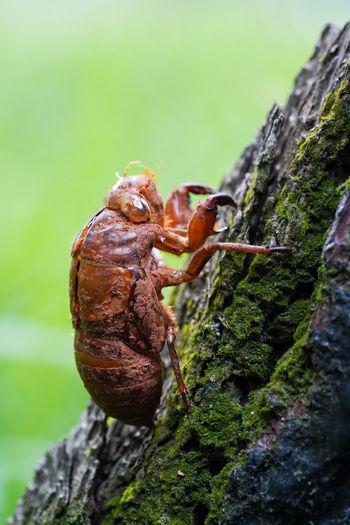 蟬蛻 Leaf Insect