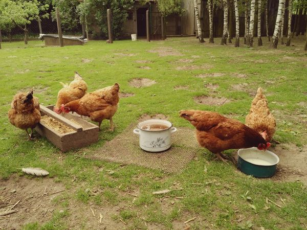 Hens covey at free range backyard, happy domestic fowl in countryside. Grass No People Happy Pot Hens Rhode Island Red Chickens Chicken Animal Farm Fowl Poultry Backyard Free Range Bird Hen Grass Chicken - Bird