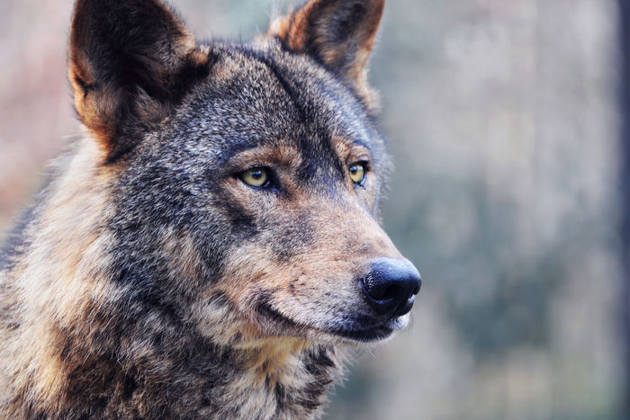 Wild Animal Wildlife Photography Wolves♥ Animal Eyes Animal Themes Animal Wildlife Animals In The Wild Close-up Cold Temperature Day Dog Focus On Foreground Forest Animal Forest Photography Mammal Nature No People One Animal Outdoors Portrait Snow Winter Wolf Wolf Photography