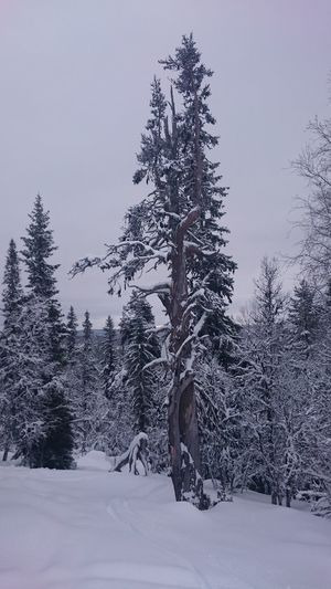 Tree Snow Winter Pine Tree Forest Cold Temperature Pine Woodland Nature Landscape Coniferous Tree Beauty In Nature No People Mountain Scenics Outdoors Snowing Close-up Pine Wood Day Skitrack Grövelsjön